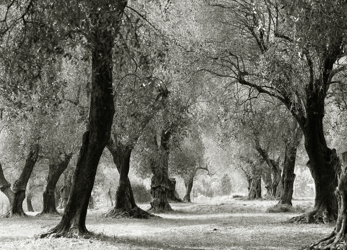 Olive Grove #2 - Menton, France 2003